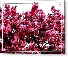 Crabapple Tree Blossoms Acrylic Print by Rose Santuci-Sofranko