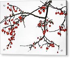 Crabapples II Acrylic Print
