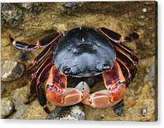 Crabby Pants  Acrylic Print