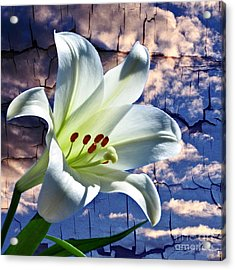 Acrylic Print featuring the photograph Cracked Paint Easter Lily by Marjorie Imbeau