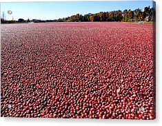 Cranberry Bog In New Jersey Acrylic Print by Olivier Le Queinec