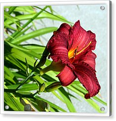 Cranberry Colored Lily Acrylic Print by Kay Novy