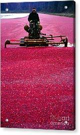 Cranberry Harvest Acrylic Print by Eva Kato