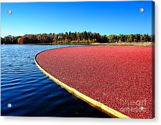 Cranberry Harvest In New Jersey Acrylic Print