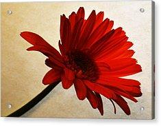 Cranberry Zinnia Acrylic Print by Sherry Allen