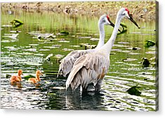 Crane Family Goes For A Swim Acrylic Print by Susan Molnar