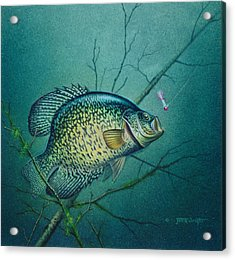 Crappie And Pink Jig Acrylic Print by Jon Q Wright
