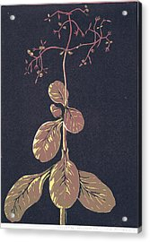 Crassula Multica Va Acrylic Print by C L Mvuku