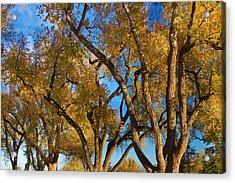 Crazy Golden Tree Sky Acrylic Print by James BO  Insogna