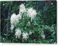 Creambush Oceanspray Acrylic Print