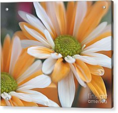 Acrylic Print featuring the photograph Creamsicle Daisies by Mary Lou Chmura