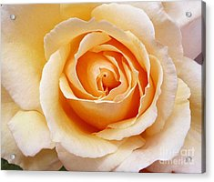 Creamy Orange Rose Blossom Acrylic Print