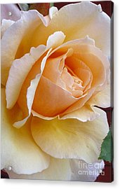 Creamy Pastel Orange Rose Acrylic Print by Paul Clinkunbroomer