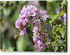 Crepe Myrtle And Honey Bee Acrylic Print by Jason Politte