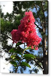 Crepe Myrtle And Mr. Pine Acrylic Print