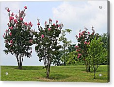 Crepe Myrtle Trees Acrylic Print by Carolyn Ricks
