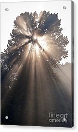 Crepuscular Rays Coming Through Tree In Fog At Sunrise Acrylic Print