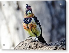 Crested Barbet Acrylic Print by Pravine Chester