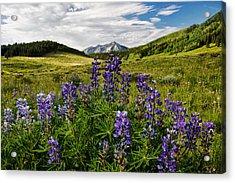Crested Butte Lupines Acrylic Print