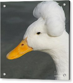 Acrylic Print featuring the photograph Crested Duck by Bob and Jan Shriner