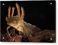 Crested Newt Larva Acrylic Print by Dirk Ercken