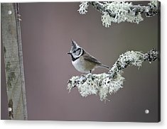 Crested Tit Acrylic Print by Science Photo Library