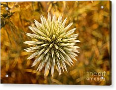 Cretan Flower Acrylic Print by David Warrington