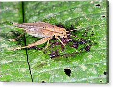 Cricket Feeding On Fallen Fruit Acrylic Print by Dr Morley Read