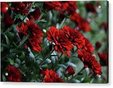 Crimson And Clover Acrylic Print