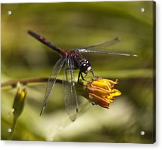 Acrylic Print featuring the photograph Crimson-ringed  White Face Dragonfly On Flower by Lee Kirchhevel