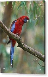 Crimson Rosella Parrot Canberra Acrylic Print