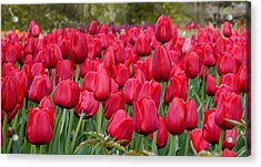 Crimson Tulips  Acrylic Print by Richard Reeve