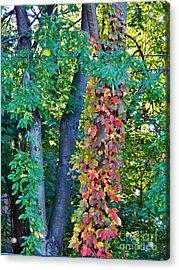 Crimson Vines Acrylic Print by Judy Via-Wolff