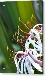 Acrylic Print featuring the photograph Crinum Lily by Darla Wood