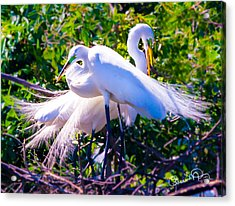 Criss-cross Egrets Acrylic Print