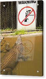 Croc Rules Acrylic Print by Debbie Cundy
