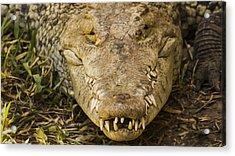 Crocodile Acrylic Print by Aged Pixel