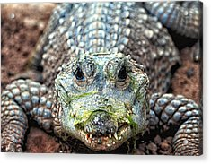 Crocodile Close-up Acrylic Print