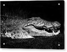 Acrylic Print featuring the photograph Crocodile  by Gigi Ebert