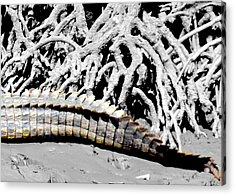 Acrylic Print featuring the photograph Crocodile Tail by Debbie Cundy