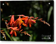 Acrylic Print featuring the photograph Crocosmia 'dusky Maiden' Flowers by Scott Lyons