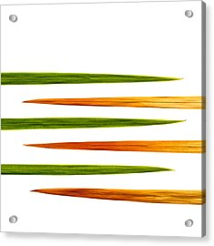 Crocosmia Leaves On White Background Acrylic Print by Carol Leigh