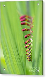 Crocosmia Lucifer Flower Buds Acrylic Print by Tim Gainey