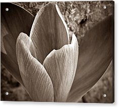 Crocus  Acrylic Print by Chris Berry