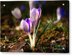 Acrylic Print featuring the photograph Crocus by Christine Sponchia