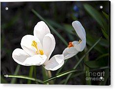Crocus Flower Basking In Sunlight Acrylic Print by Elena Elisseeva