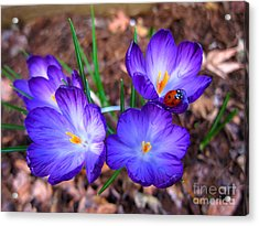 Crocus Flowers And Ladybug Acrylic Print