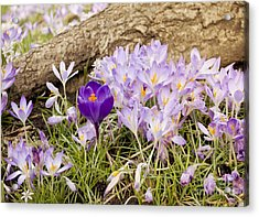 Crocus Garden In Spring Acrylic Print by Maria Janicki