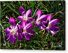 Crocus In The Grass Acrylic Print