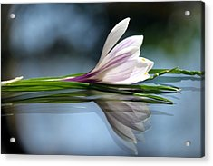 Crocus Reflections Acrylic Print by  Andrea Lazar